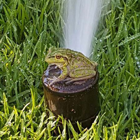 Frog on sprinkler installed by WA Reticulation