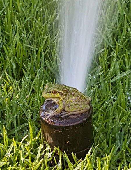 Native frog loving WA Reticulation's Sprinkler